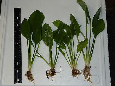 SWORD PLANT   NICE 6+ Plants for Tropical Fish Aquarium tank